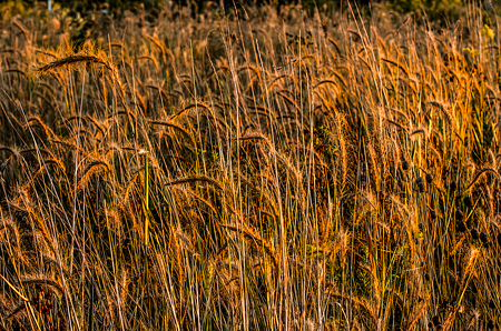 Prairie Grasses near Springfield, Illinois