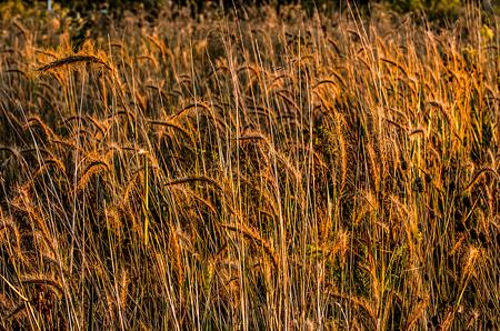Prairie Grasses near Springfield, Illinois