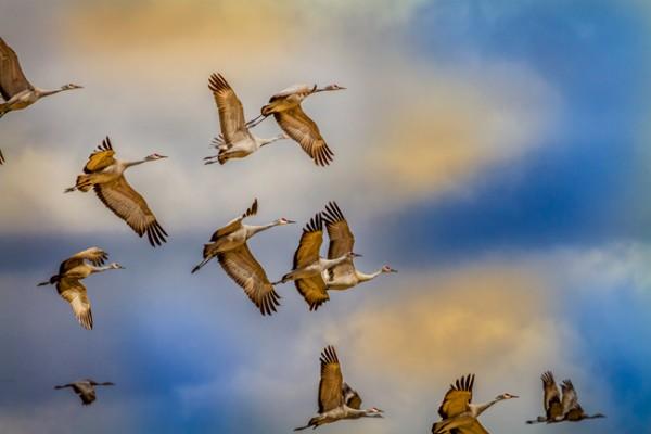 Cranes_1945-web