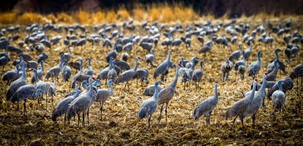 Sandhill Cranes in Nebraska Farm Field